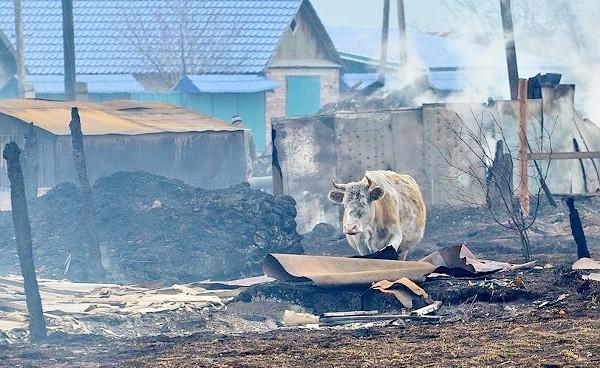 Корова на пожарище в Хакасии