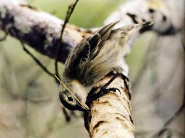 Древесный вьюрок галапагосский