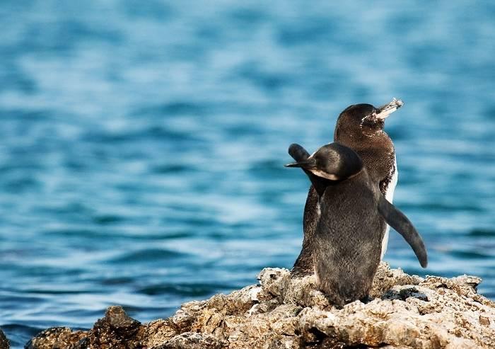 Пингвин галапагосский