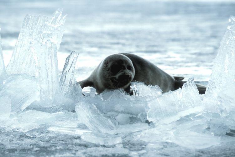 Нерпа на льду озера Байкал