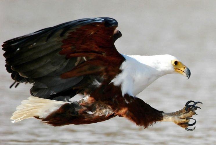Орел белоголовый