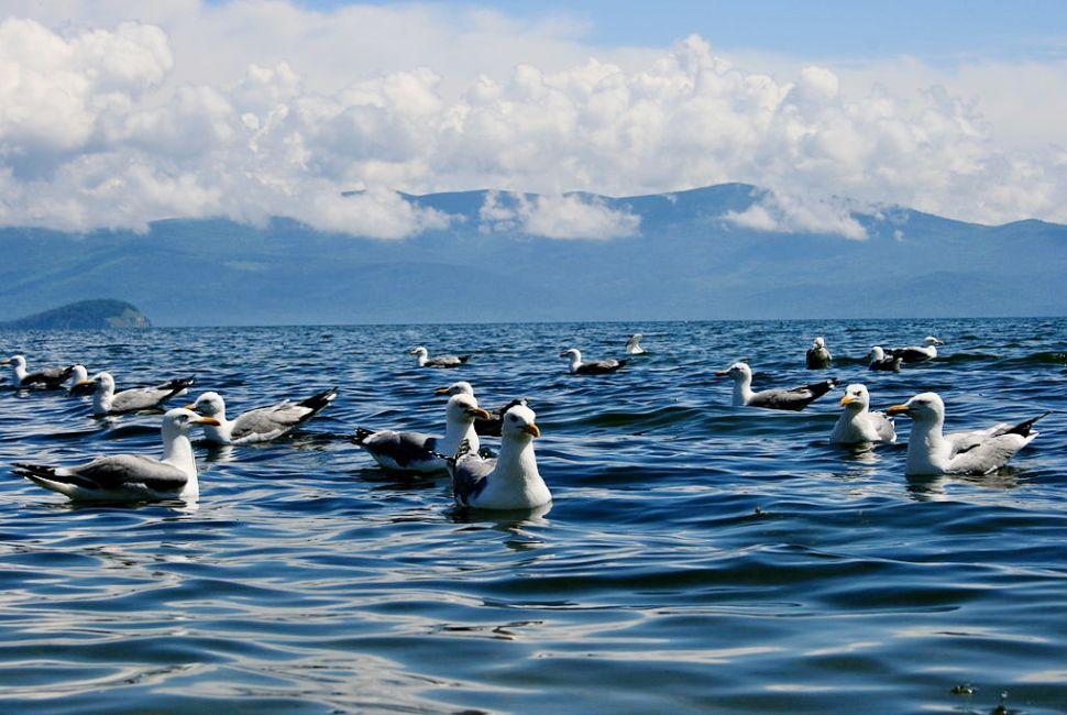 Озеро Байкал, чайки
