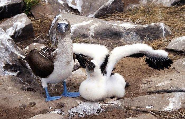 Пара голубоногих олуш