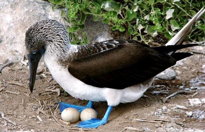 Голубоногая олуша с яйцами